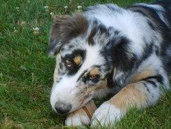 Falbala, chien Berger australien