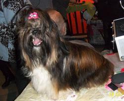 Falbala, chien Shih Tzu