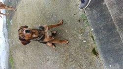 Falcko, chien Beauceron