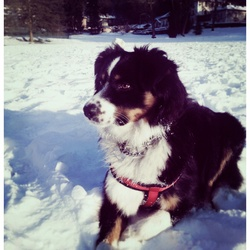 Falcko, chien Berger australien