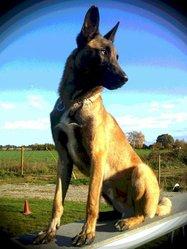 Falcko, chien Berger belge