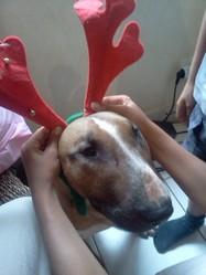 Falcko, chien Bull Terrier