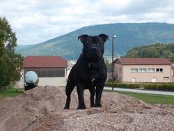 Falcko, chien Staffordshire Bull Terrier