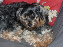 Falcko, chien Yorkshire Terrier