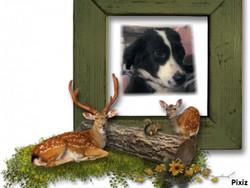 Falco, chien Border Collie