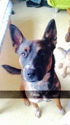 Falco, chien Berger belge