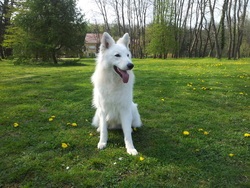 Falco, chien Berger blanc suisse