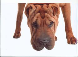 Falco, chien Shar Pei