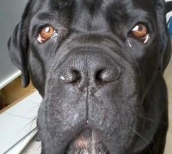 Falco, chien Cane Corso