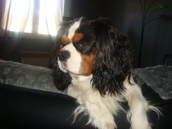 Falco, chien Cavalier King Charles Spaniel