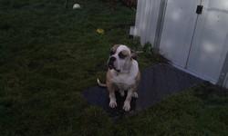 Falco, chien Bulldog