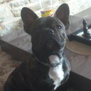 Falco, chien Bouledogue français