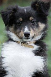 Falco, chien Berger des Shetland