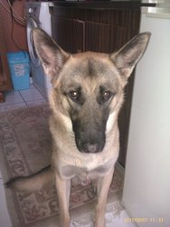 Falco, chien Berger allemand