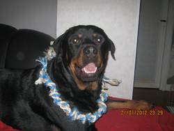 Falco, chien Rottweiler