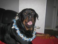 Falco, chien Rottweiler
