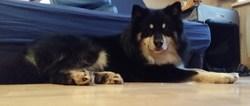 Falco, chien Chien finnois de Laponie