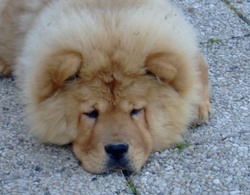 Falcon, chien Chow-Chow
