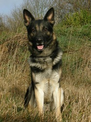 Falcon, chien Berger allemand