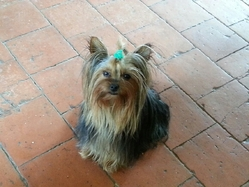 Falcon, chien Yorkshire Terrier