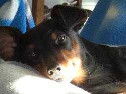 Falcone, chien Pinscher