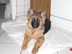 Falcone, chien Berger allemand