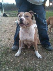 Falcor, chien American Staffordshire Terrier