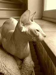 Falcor, chat Sphynx