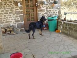 Falcos , chien Beauceron