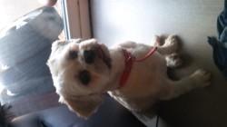 Falea, chien Lhassa Apso