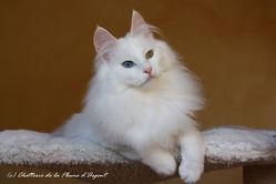 Falène, chat Angora turc