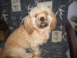 Falina, chien Lhassa Apso