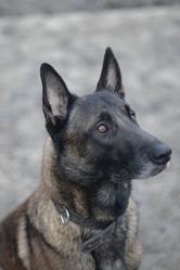 Falko, chien Berger belge