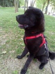 Falko, chien Spitz allemand