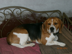 Falko, chien Beagle