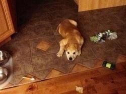 Falko, chien