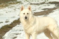 Falko, chien Berger blanc suisse