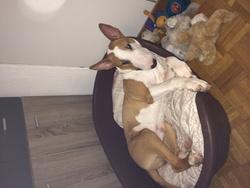 Falko, chien Bull Terrier