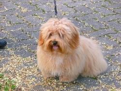 Falko, chien Bichon havanais