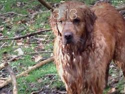 Falko, chien Golden Retriever