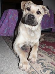 Falko, chien Staffordshire Bull Terrier