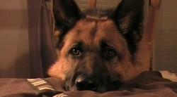Falko, chien Berger allemand