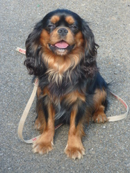 Falko, chien Cavalier King Charles Spaniel