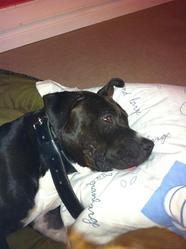 Falkor, chien American Staffordshire Terrier