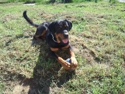 Falkor, chien Beauceron