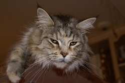 Fallen Des Sables, chat Maine Coon