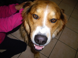 Fallun, chien Bouvier bernois