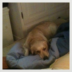 Falone, chien Golden Retriever