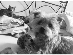 Falonne, chien Yorkshire Terrier