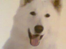 Falou, chien Berger blanc suisse